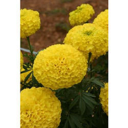 Marigold Flower Seeds MG- 27