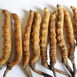 Navchetana Kendra Cordyceps Sinensis Extract, Pack Size: Gram