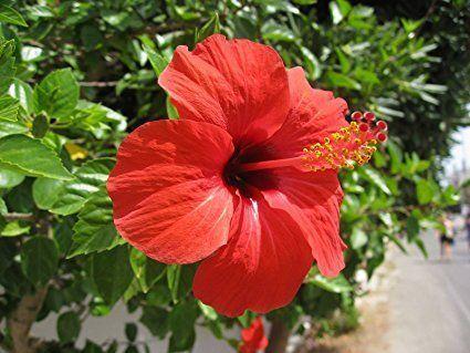 Hibiscus Flower Powder At Rs 375 Kilogram Hibiscus Powder Id
