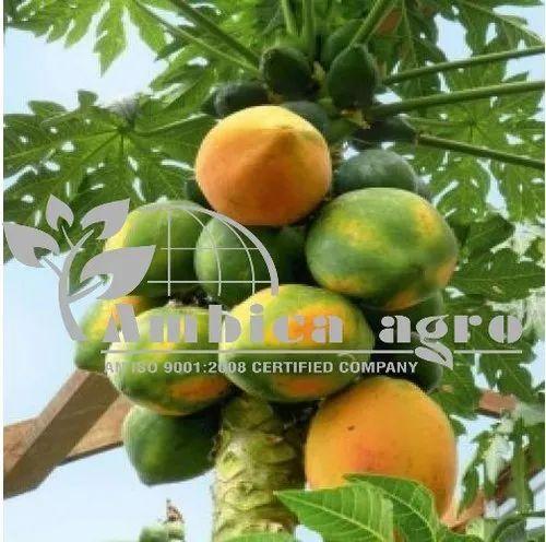 Red Lady 786 Papaya Plants