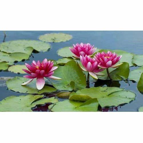 Lotus Plant At Rs 100 Piece Lotus Plant Id 14608089912