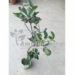 BATABI FRUITS PLANTS