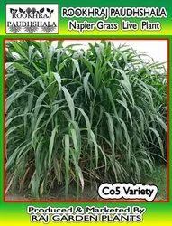 Rookhraj Paudhshala Hybrid Elephant Grass Seeds, for Gardening, Packaging Type: Box