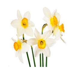 Narcissus Absolute Oil NBSP