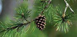 Pine Fresh Fragrance