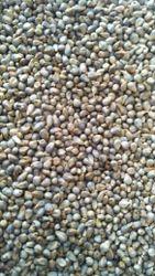 Indian Green Millet