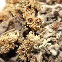 Helichrysum Abs. Oil