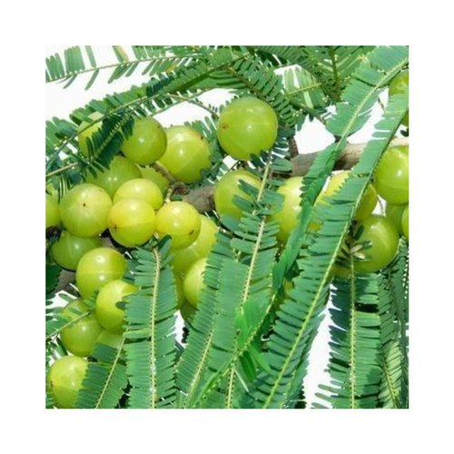 Amla Herbal Extract (Oil Soluble)