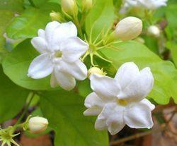jasmine flower in coimbatore latest price and mandi rates from