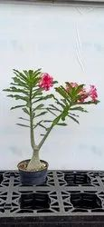 Full Sun Exposure Adenium Obesum Plant for Garden