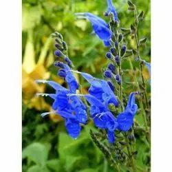 Salvia Blue Flower Seeds