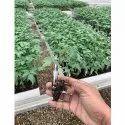 Grafting Tomato Plant