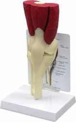Knee Joint With Muscles Model