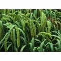 Yellow Foxtail Millet, High In Protein