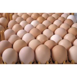 Brown Hatching Eggs, For Haching chicks, Poultry Farm