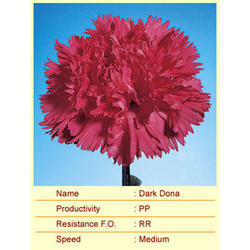 Cut Flower Caryophyllaceae Dark Dona Carnation Plant, The Netherlands, For Decoration And Events