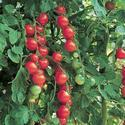 Hybrid Tomato Seeds, For Agricultural Purposes
