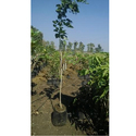 Pansare Nursery Green Pongamia Pinnata Plant, For Garden, Outdoor