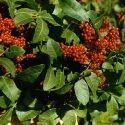Anacardiaceae Shrub