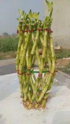 Lucky Bamboo (Big Pineapple Single Pcs Braid)