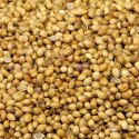 Hybrid Coriander Seed