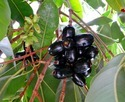 Jamun Seed Ext. (10:1)