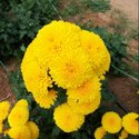 Well Watered Yellow Chamanthi Marigold Flower Plant, For Farming
