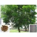 Acacia Aurifuliformis Plants