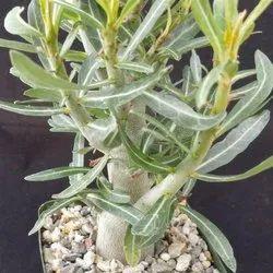 Somalense Adenium Plant