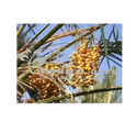 Tissue Culture Date Palm
