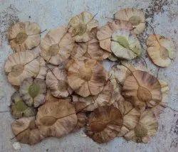 Holoptelea Integrifolia Seeds
