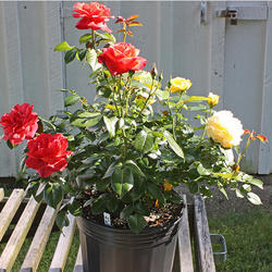 Rose Plant for Garden, Packaging Type: Bag