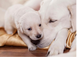 Infertility Treatment Service For Pups