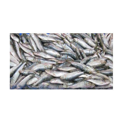 Frozen Sardine, for Mess, Packaging Type: Moisture Packaging