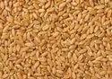 Wheat Gehun Seed