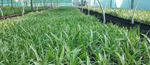 Pineapple Plant At Rs 40 Piece