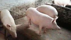 Yorkshire Landrace Cross Pig