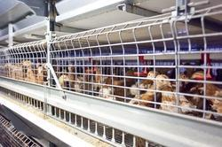 Battery Poultry Cages