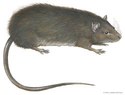 Rodent Control Treatment in Kolkata & Hooghly