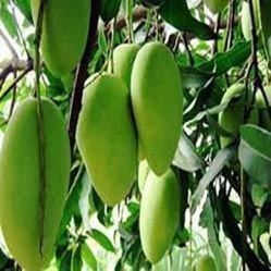 Dasheri Mango Tree