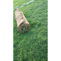 Green Natural Grass, For Lawn, For Garden