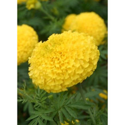 Marigold Flower Seeds MG- 3004