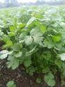 Bhavna Coriander Seeds