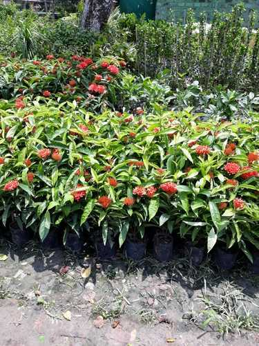 Buy Ixora In Orlando Florida Lake Mary Kissimmee Sanford: Wholesale Merchants Of Ornamental & Fruit Plants By New