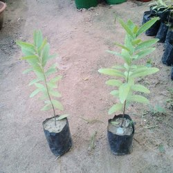 Sandalwood White Plant