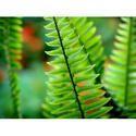 Vital Herbs Polypodium Leucotomus Extract
