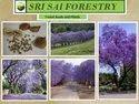 Jacaranda Mimosifolia Seeds