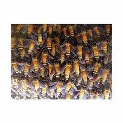 Honeybees Control Service