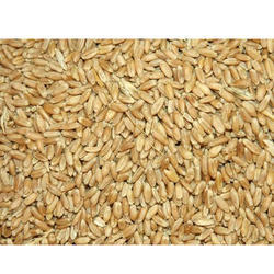 Organic Wheat Seed, Pack Size: 500g-5kg