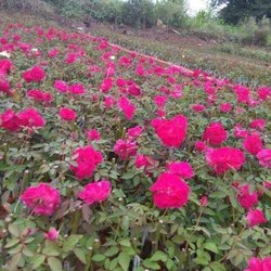 Red Kashmiri Rose Plant, Winter, Packaging Type: Bag